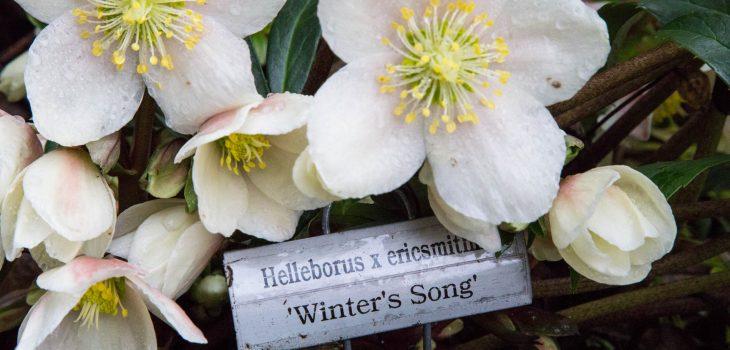 Helleborus x ericsmithii 'Winter's Song'