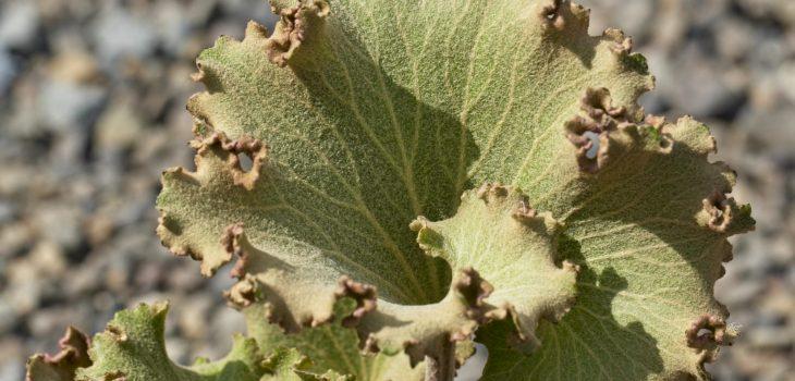 Farfugium japonicum 'Shishi Boton'