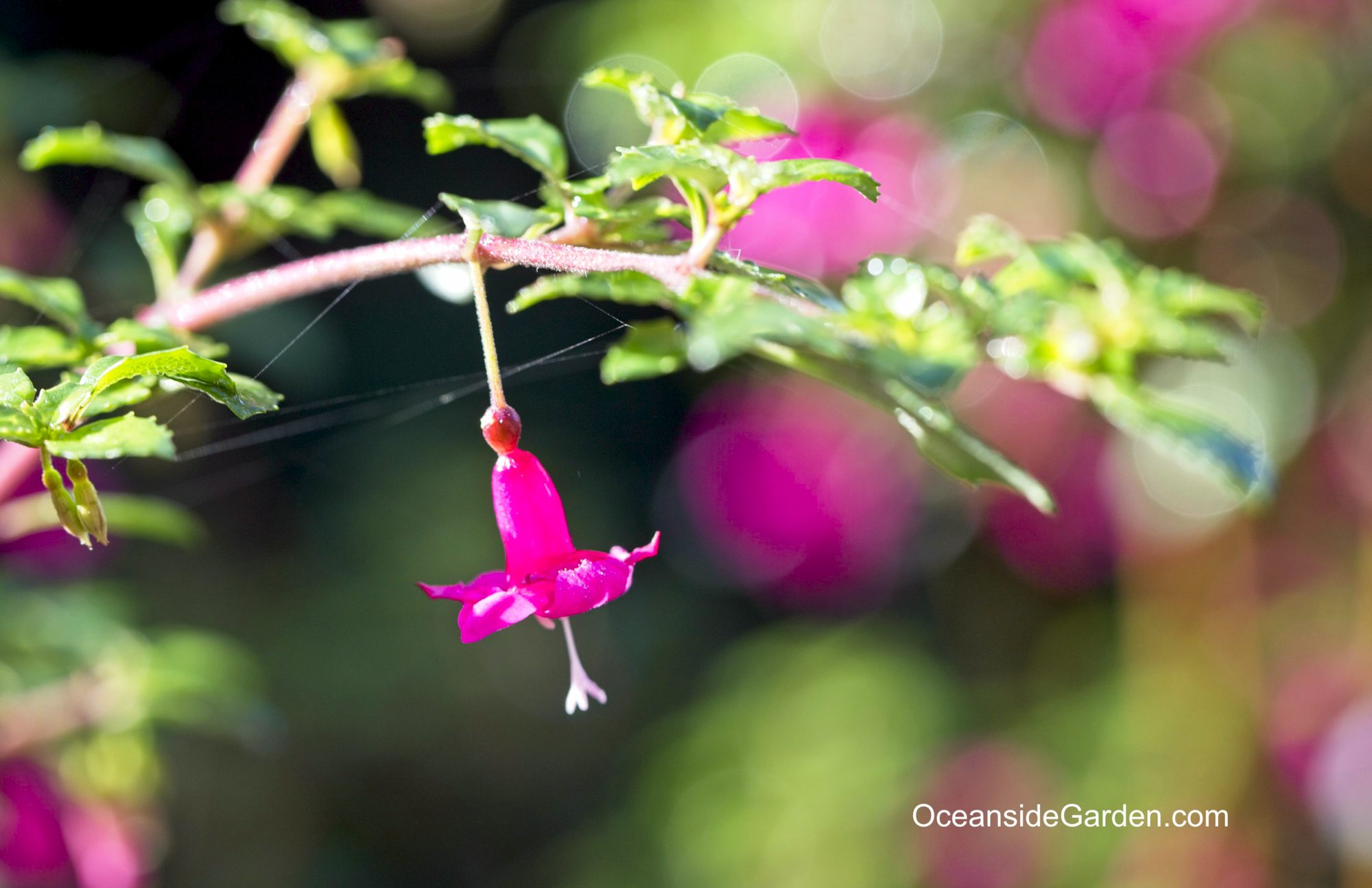 Fuchsia microphylla 'Isis'