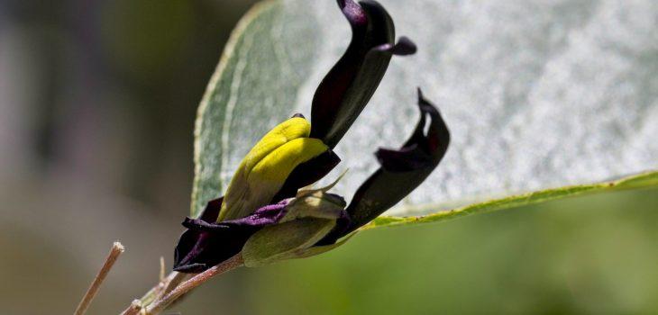 Kennedia nigrican