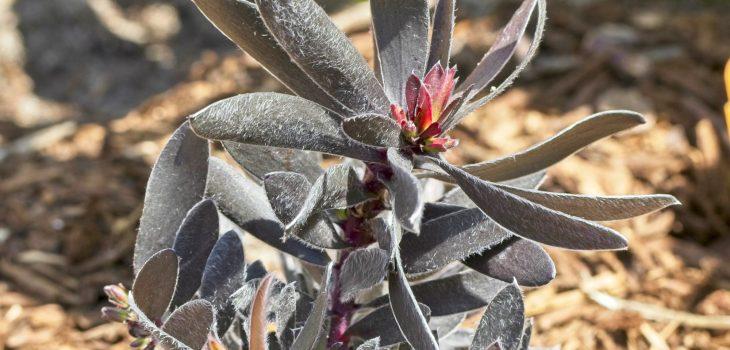 Leucadendron 'Ebony'