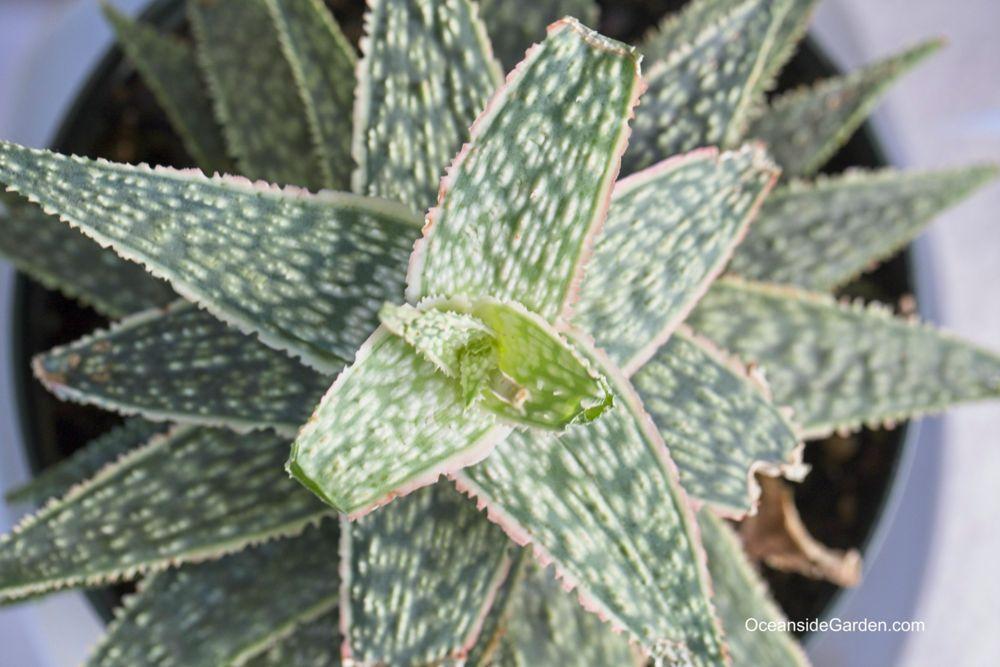 Aloe BrightStar
