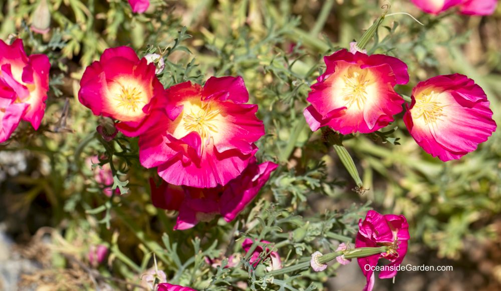 Eschscholzia californica 'Rose Chiffon'