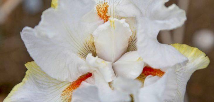 Iris 'White Hot'