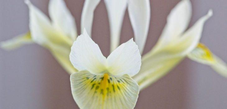 Iris histrioides 'Katharine's Gold'