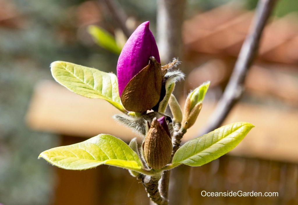Magnolia x soulangiana 'Black Tulip'