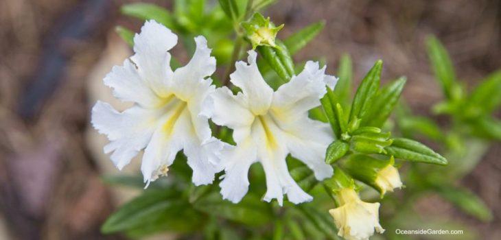 Mimulus bifidus 'White'