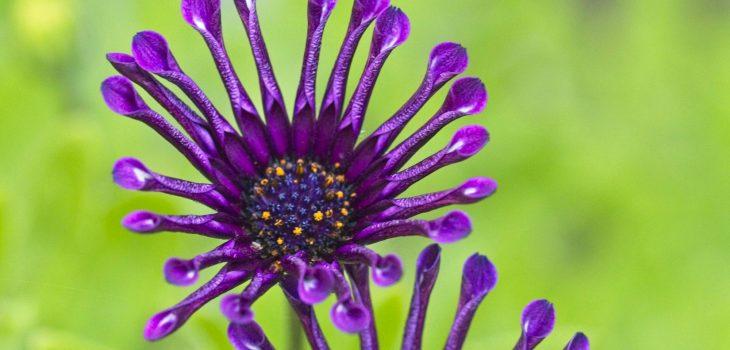 Osteospermum ecklonis 'Spider Purple'