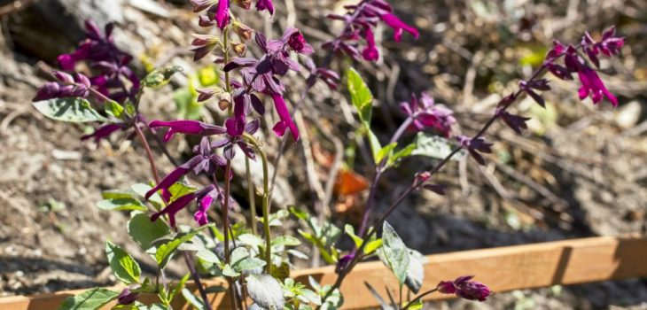 Salvia 'Love and Wishes'