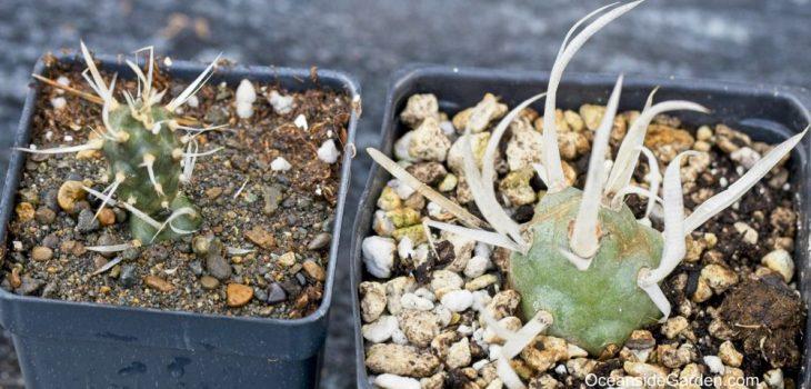 Tephrocactus articulatus var. papyracanthus