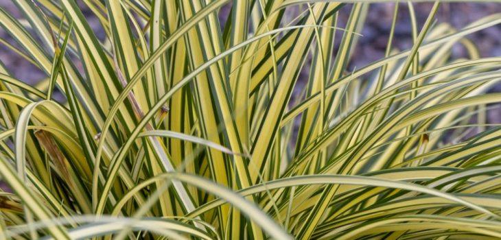 Carex oshimensis 'Everoro'