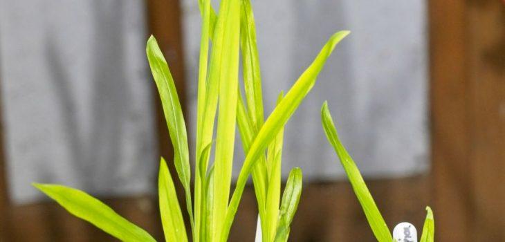 Chasmanthe aethiopica seedlings