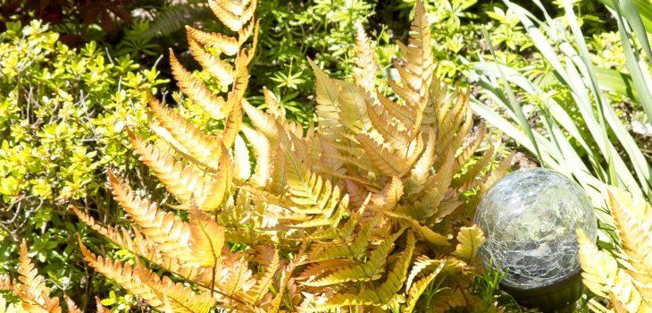 Dryopteris erythrosa