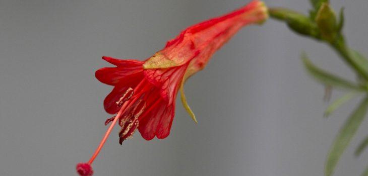 Epilobium canum 'Bowman's hybrid'