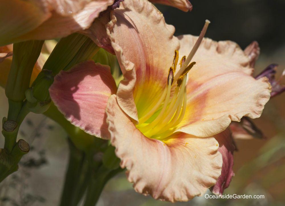 Hemerocallis 'Elegant Candy'