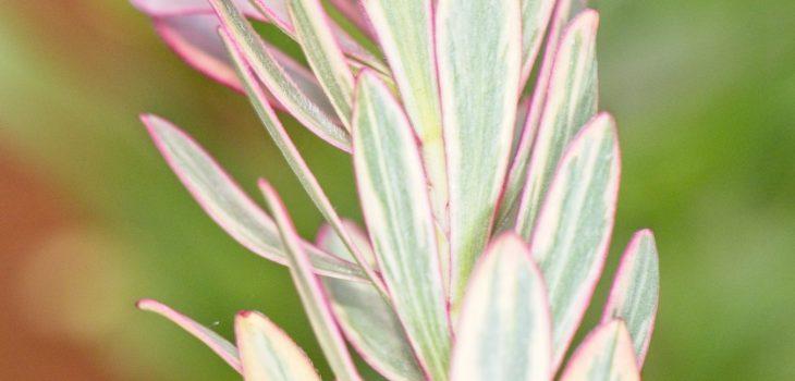 Leucadendron 'Jester'