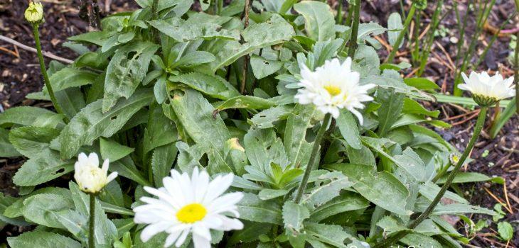 Leucanthemum x superbum 'Sweet Daisy Jane'
