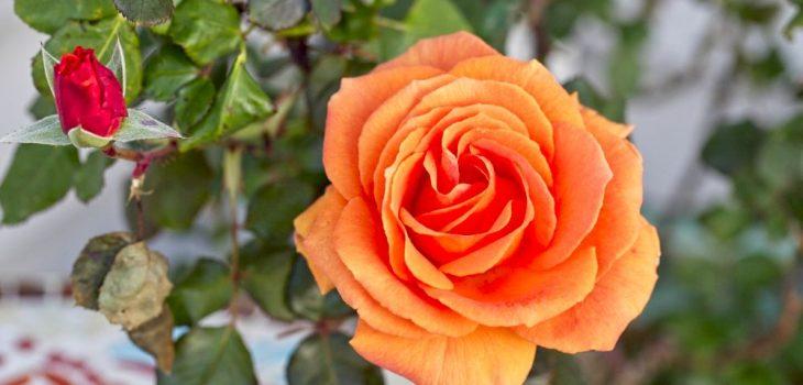 Rosa floribunda 'Vavoom'
