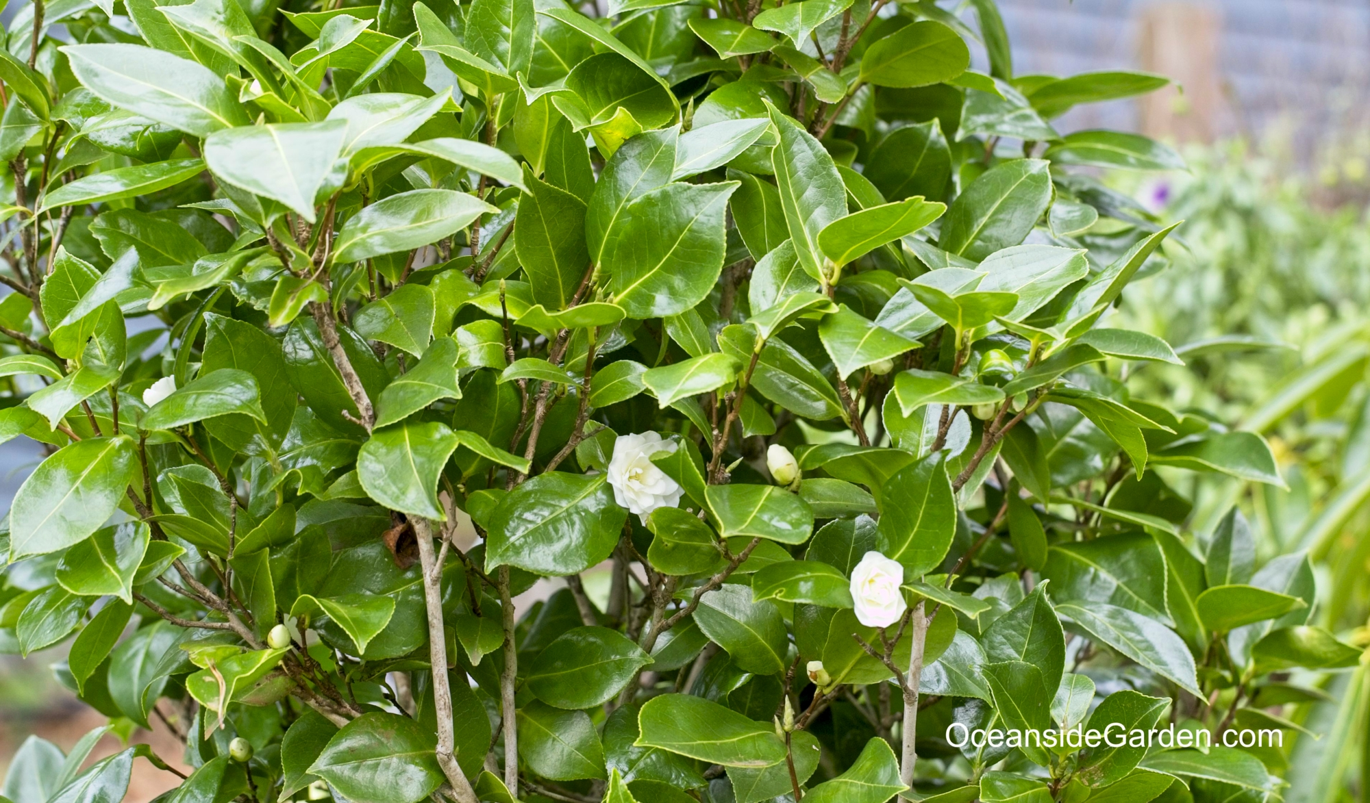 Camellia x williamsii 'Buttermint'