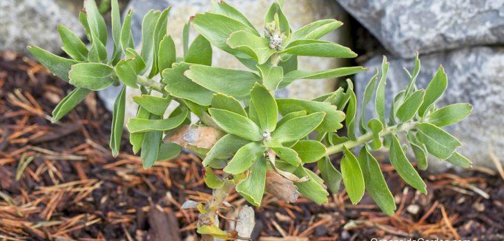 Leucospermum cordifolium 'Flame Giant'