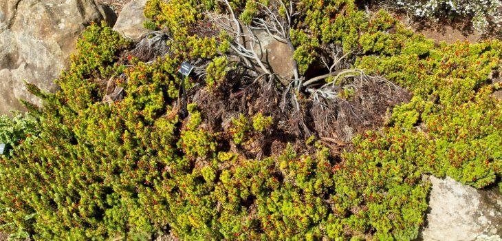 Mature Astroloma foliosum at UCSC Arboretum