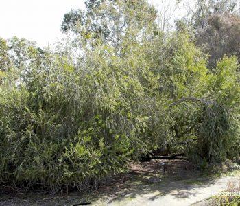 Mature Callistemon 'Cane's Hybrid' at UCSC Arboretum