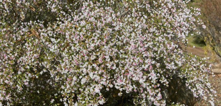 Chamelaucium ciliatum 'Scaddan' at UCSC Arboretum
