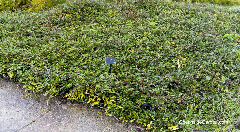 Grevillea 'Austraflora Fanfare' at UCSC Arboretum