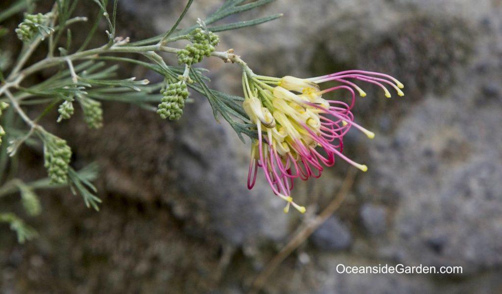 Grevillea 'Flora Mason'
