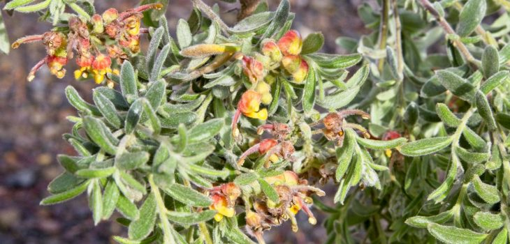Grevillea alpina 'Wangaratta'
