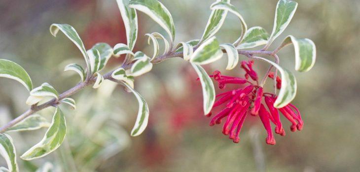 Grevillea victoriae 'East Gippsland'