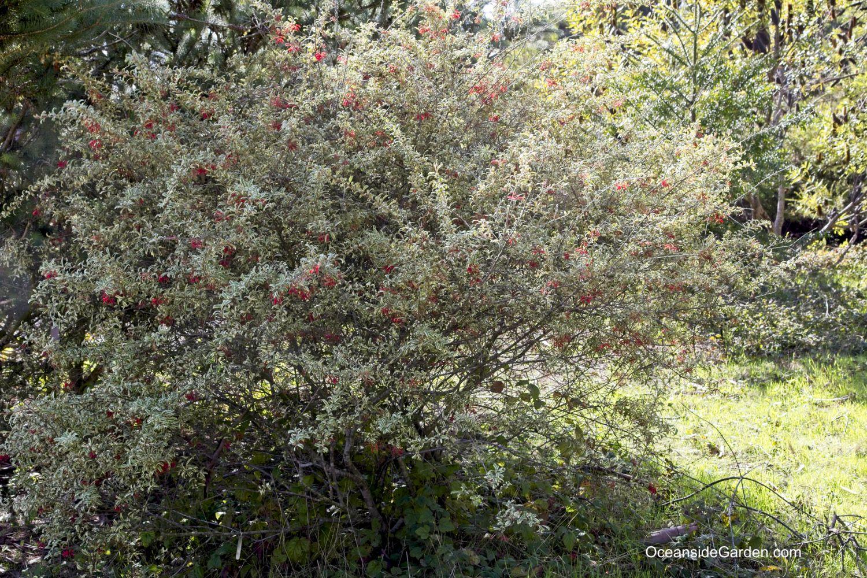 Grevillea victoriae 'East Gippsland' at UCSC Arboretum