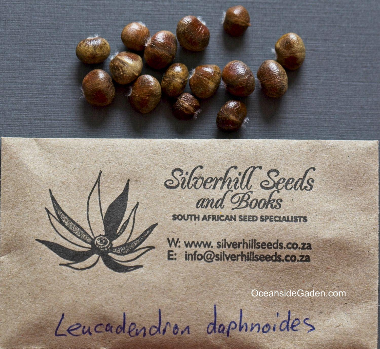 Leucadendron daphnoides - seed