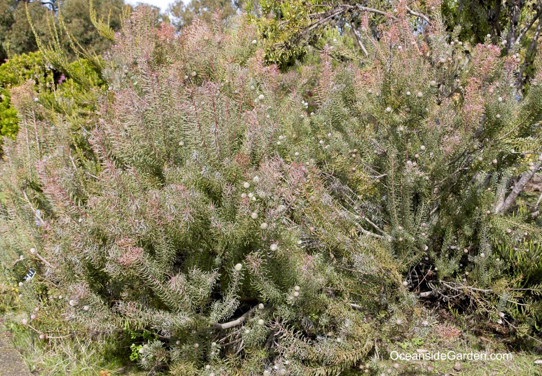 Mature Leucadendron galpinii - female, growing in UCSC Arboretum