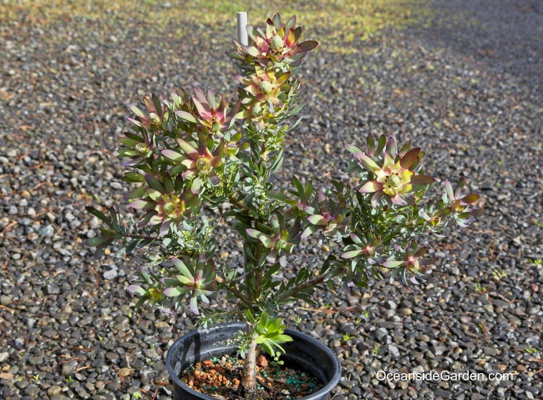 Leucadendron salignum 'Winter Red'