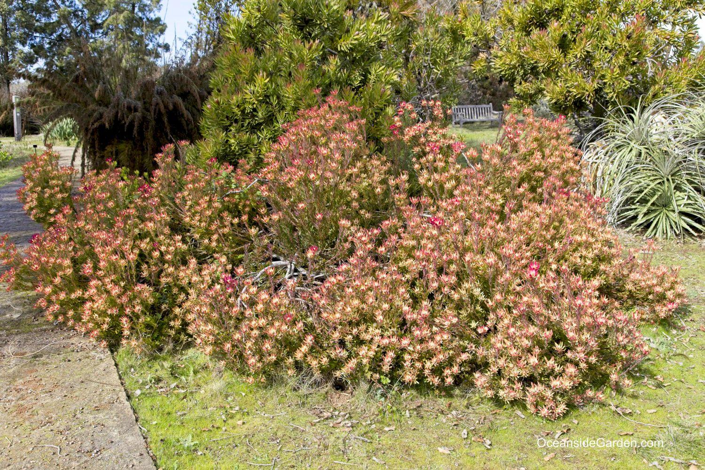 Leucadendron salignum 'Winter Red' at UCSC Arboretum