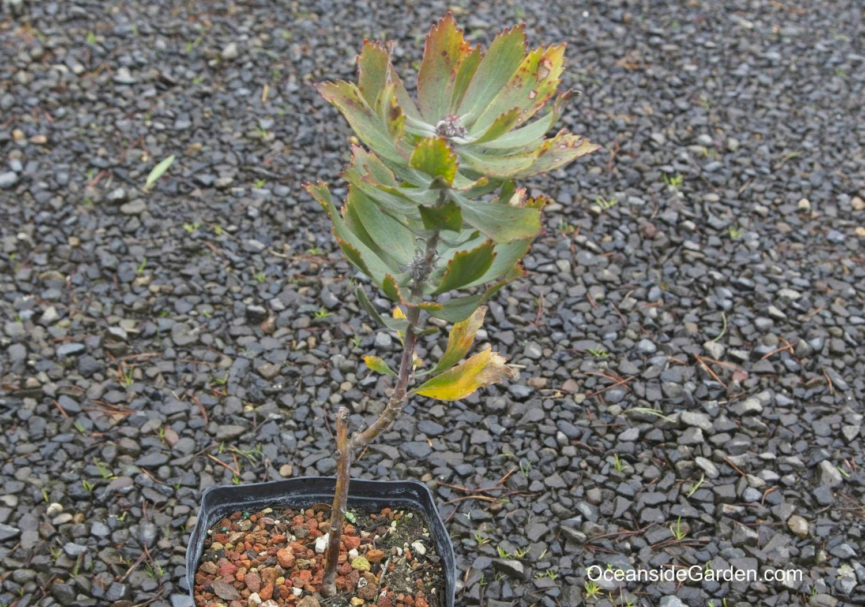 Leucospermum 'glabrum Helderfontein'