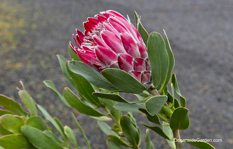 Protea 'Red Baron'