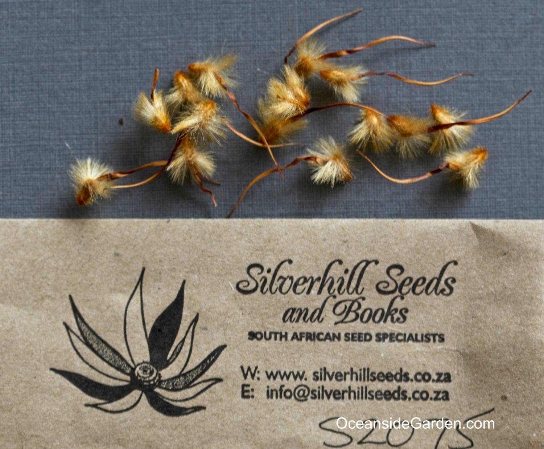Protea nana - seeds