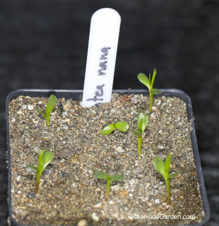 Protea nana - germination