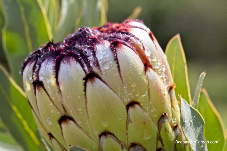 Protea neriifolia x magnifica