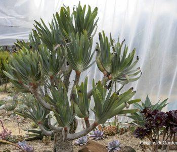 Aloe plicatilis at Ruth Bancroft Garden