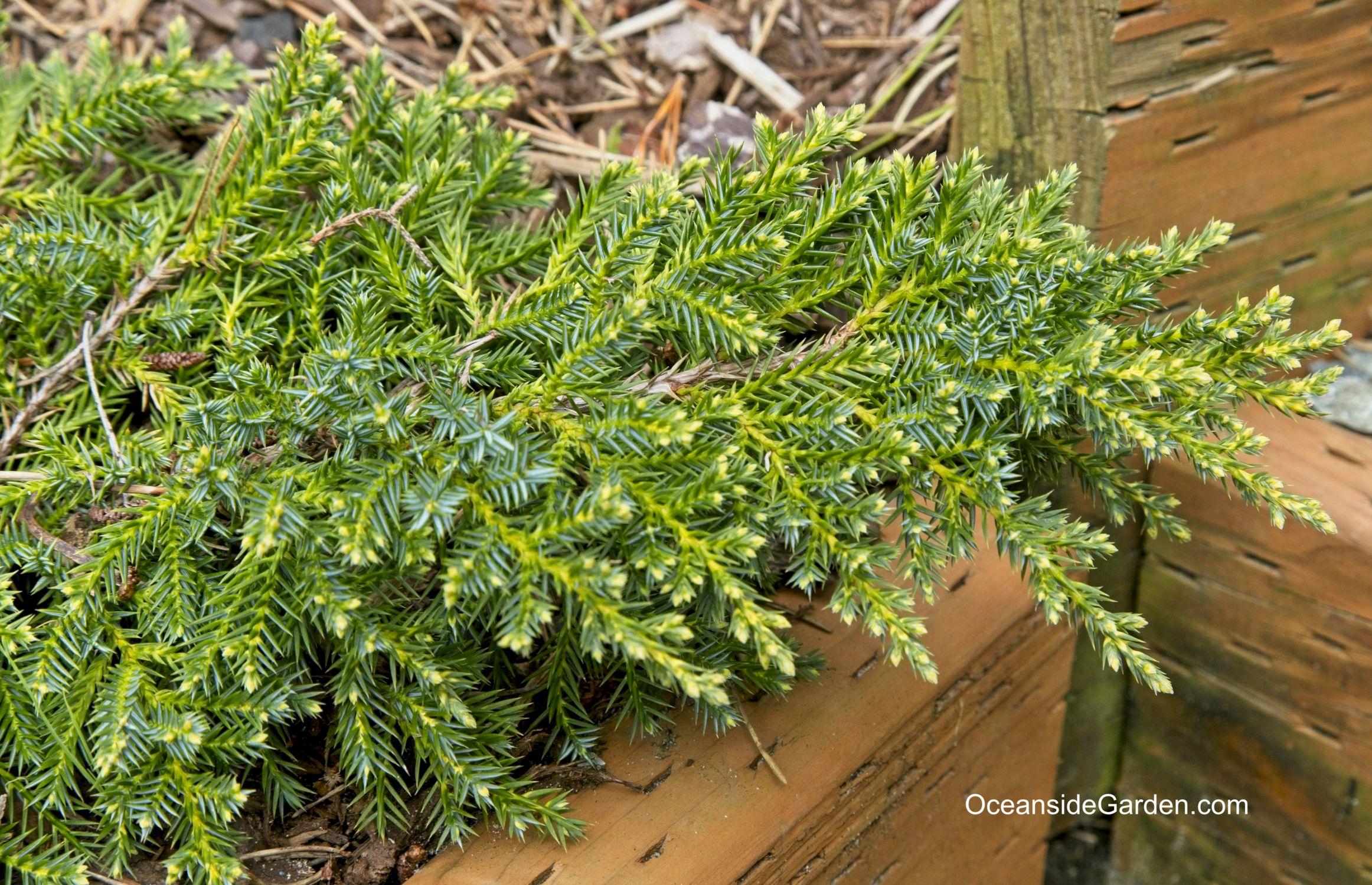 Juniperus x pfitzeriana 'Daub's Frosted'