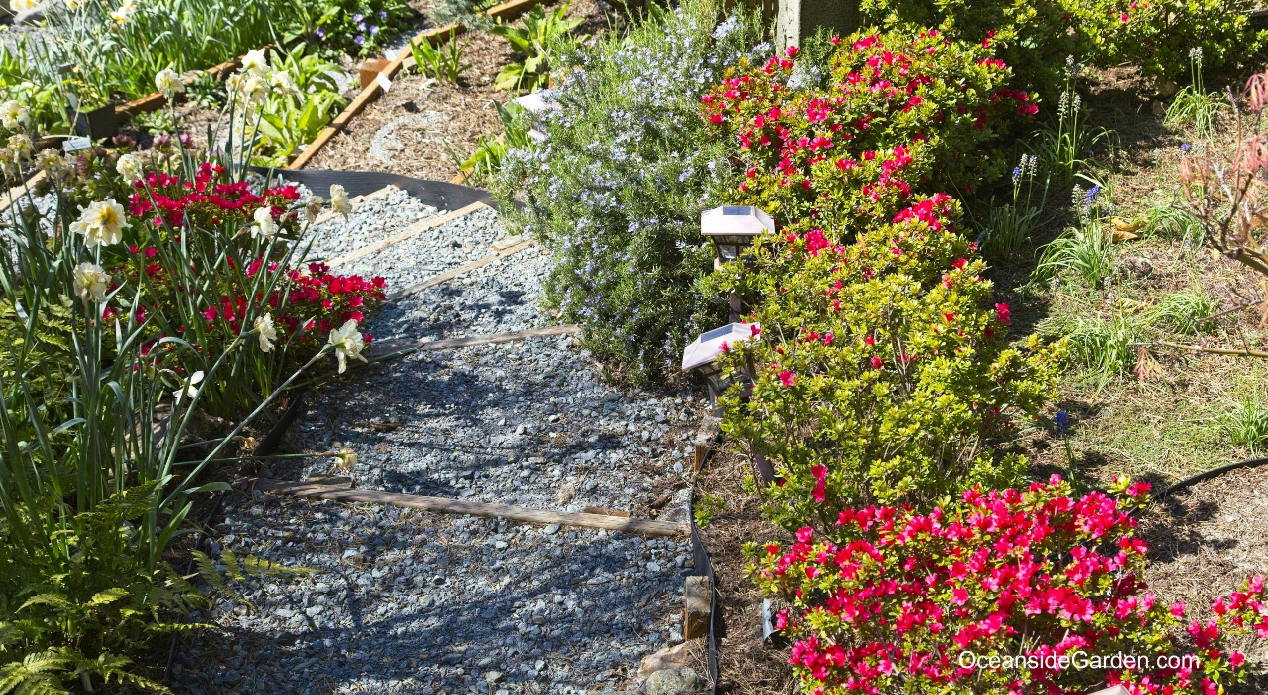 Rhododendron 'Hino Crimson'