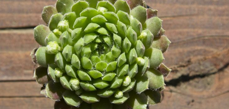 Sempervivum 'Spring Beauty'