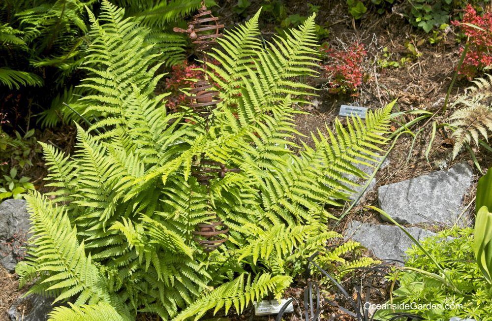 Dryopteris pseudo-felix-mas