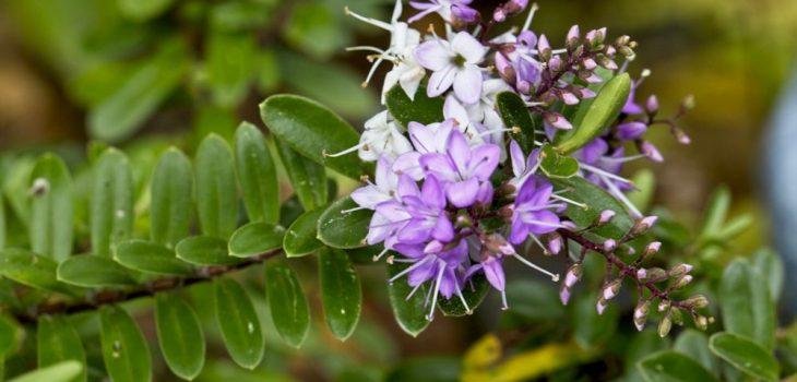 Hebe 'Patty's Purple'