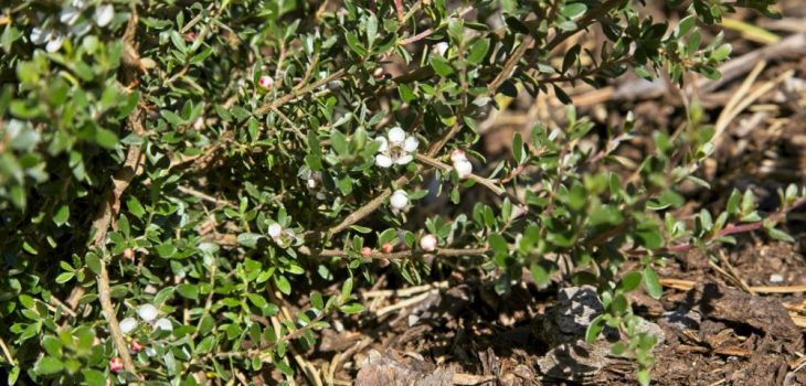 Leptospermum rupestre 'Squiggly'