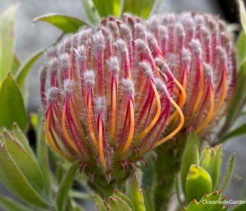 Leucospermum 'Scarlet Ribbon'