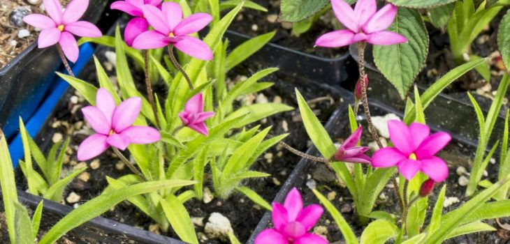 Rhodohypoxis (x Rhodoxis) 'Hebron Farm Cerise'